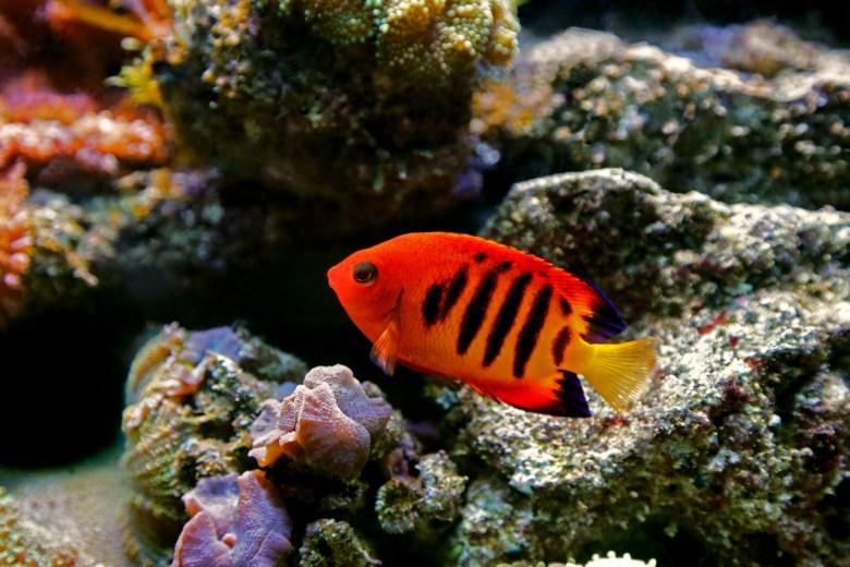 Flame angelfish, iStock