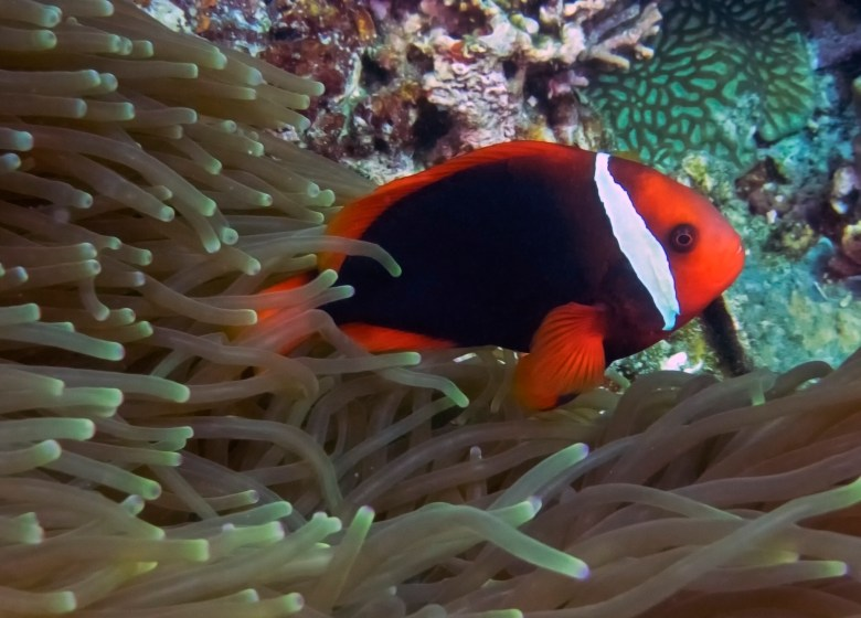 Tomato clownfish, iStock
