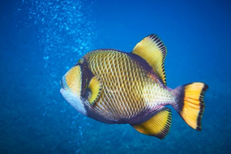 Titan triggerfish, iStock