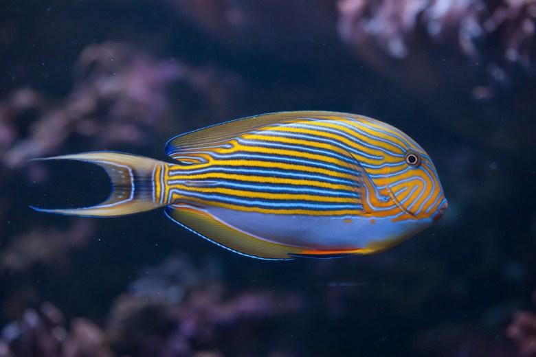 Striped surgeonfish, iStock