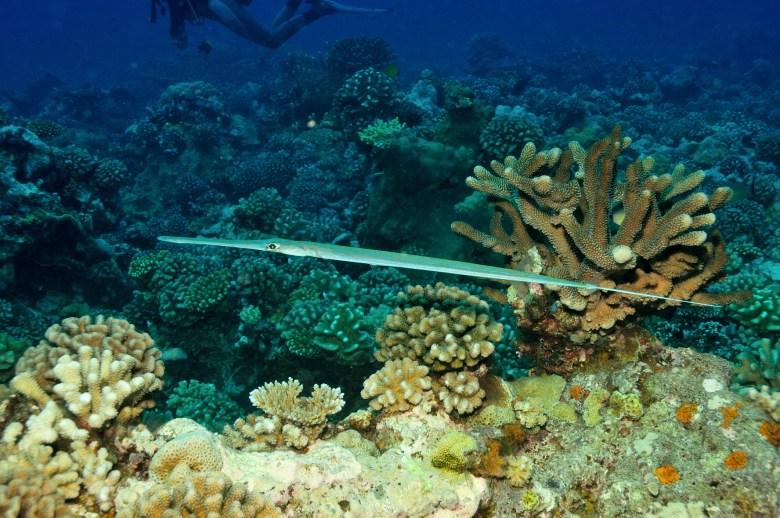 Cornetfish, iStock