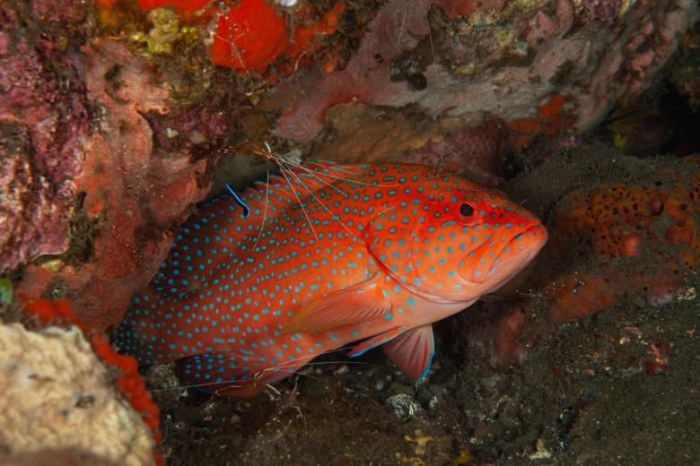 Coral grouper, iStock