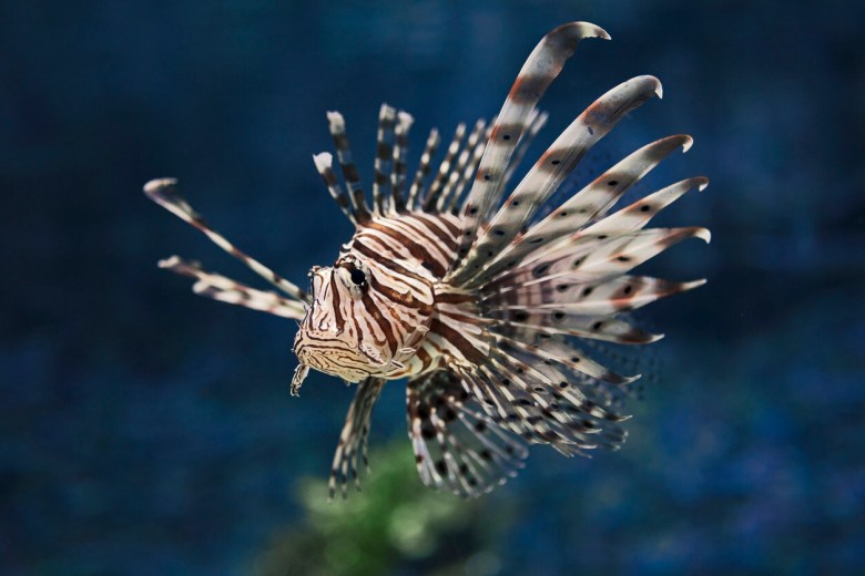 Lionfish, iStock