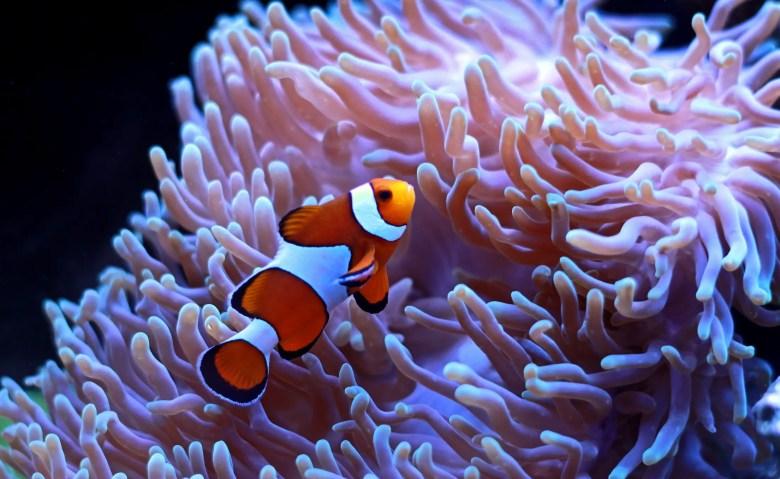Orange clownfish, iStock