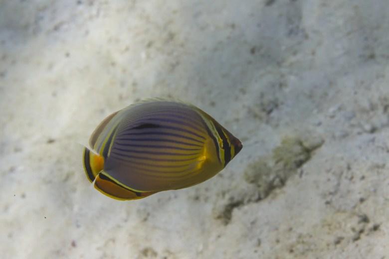 Melon butterflyfish, iStock