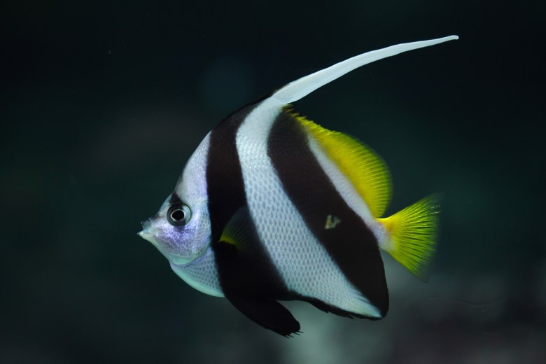 Pennant coralfish or longfin bannerfish, iStock