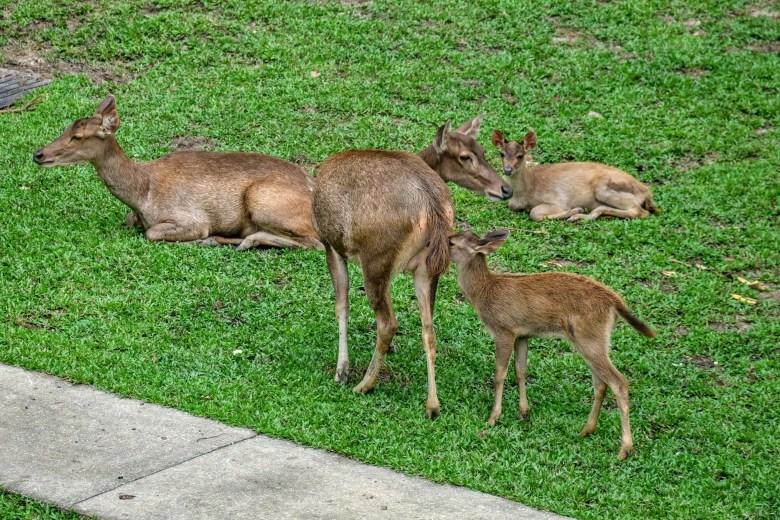 Sambar deer, Kuala Lumpur, Malaysia