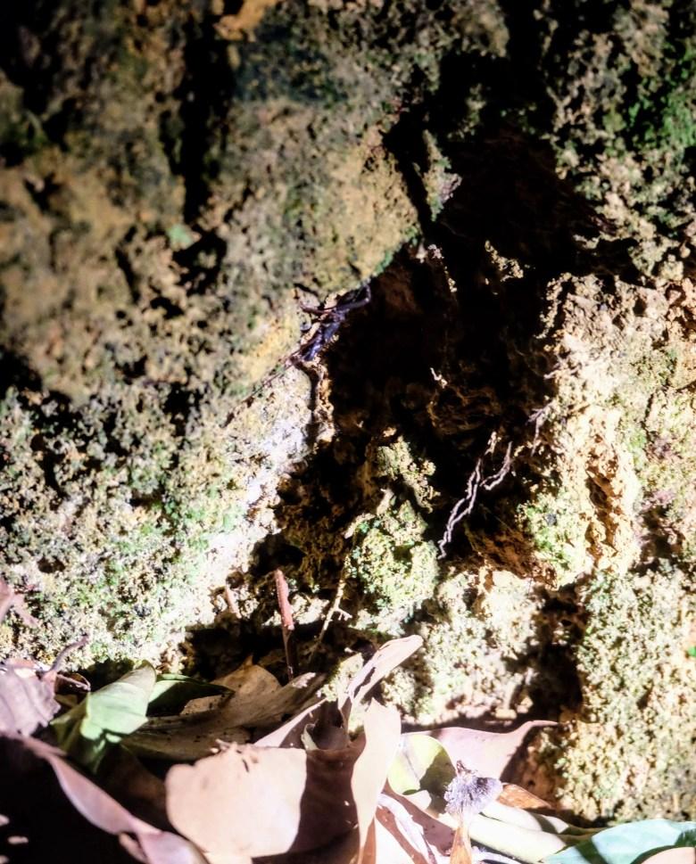 Scorpion, Sepilok, Borneo
