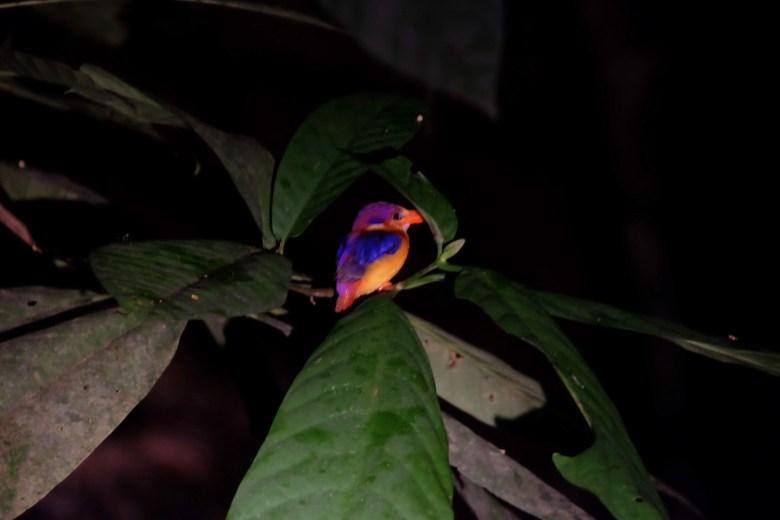 Oriental dwarf kingfisher, Sepilok, Borneo