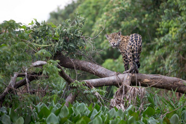 Your Majesty, the Jaguar