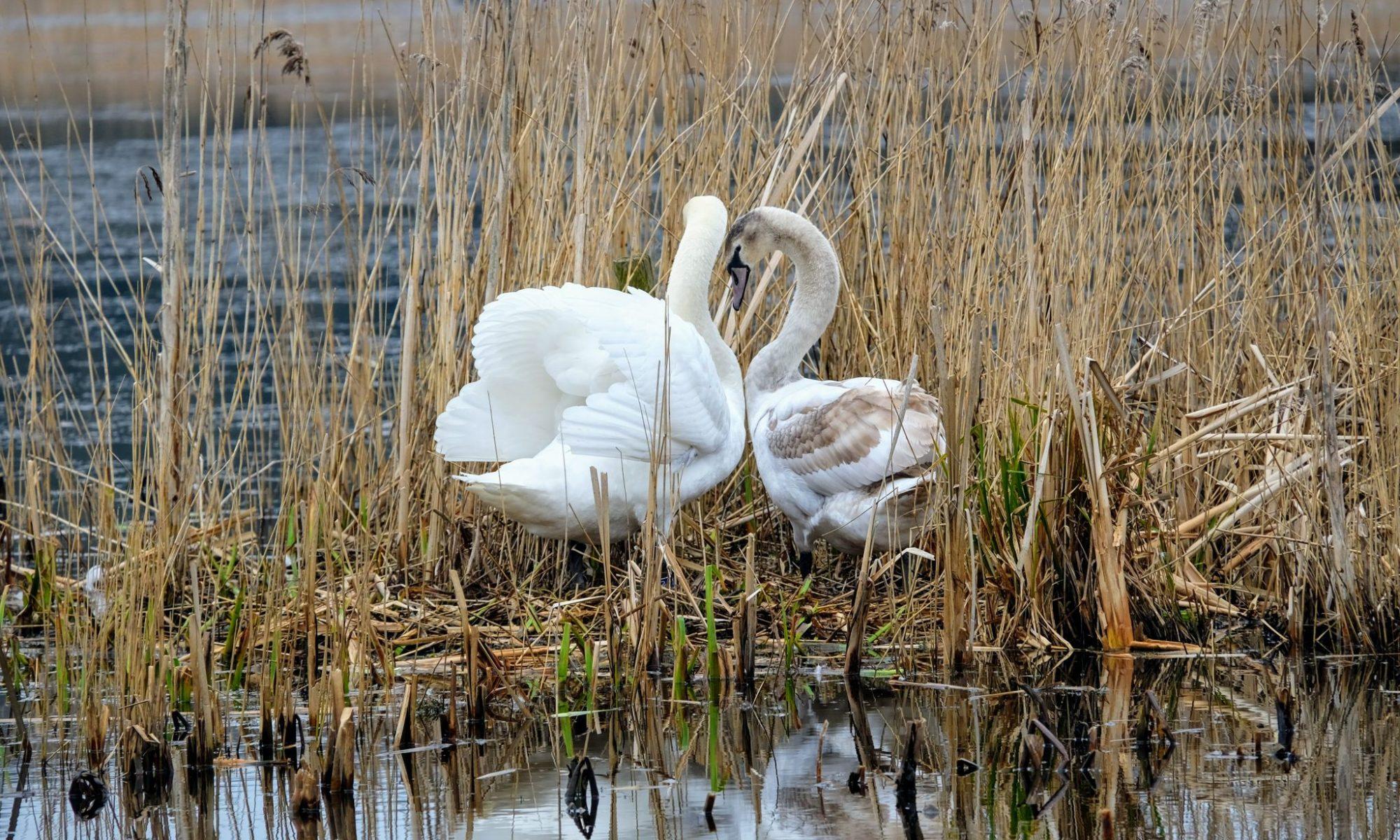 Swans at RSPB Leighton Moss
