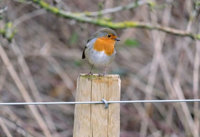 Robin on a fence