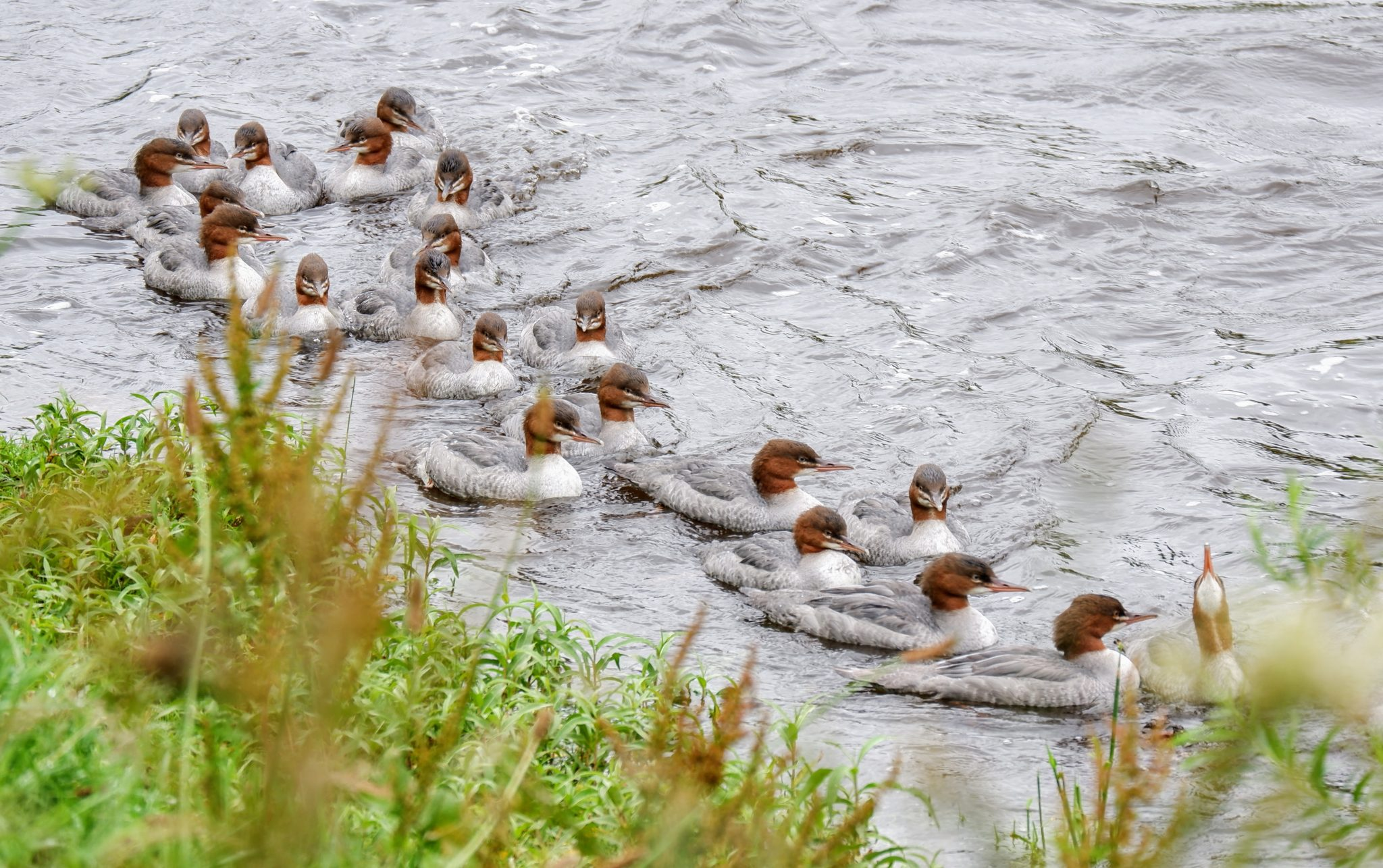 Goosanders on the River Mersey, Chorlton