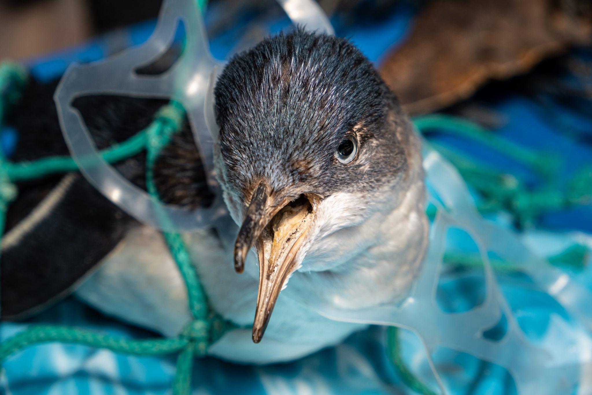 Penguin caught in plastic