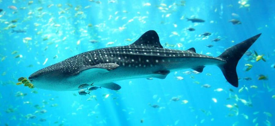 A whale shark one of the popular attractions at Isla Holbox