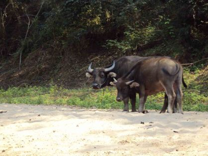 Wasserbüffel am Nam Ou