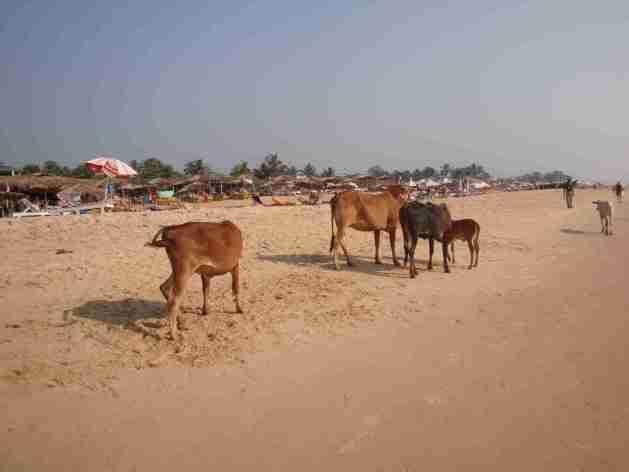 Vieh am Strand