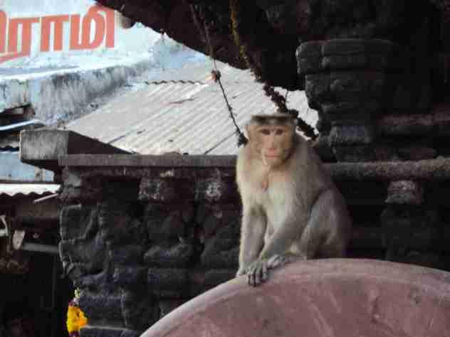 Affe auf den Dächern