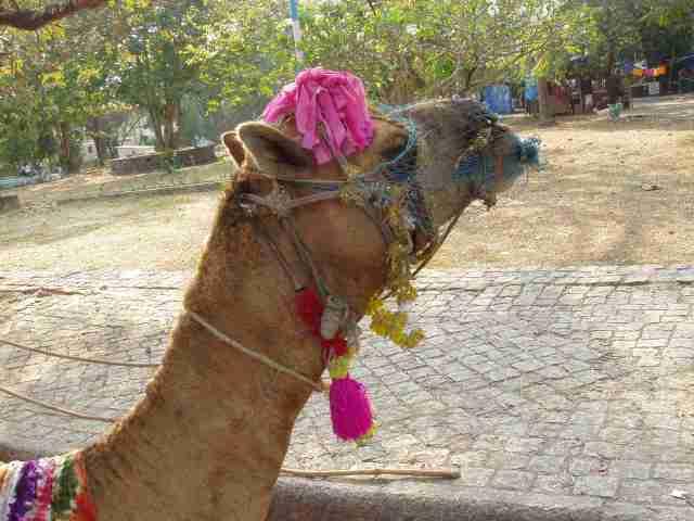 Decorated Camel in Kochi