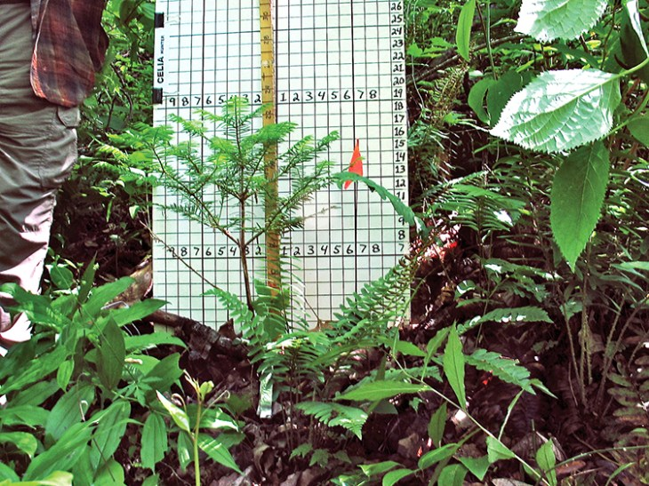The Torreya Guardians document the health and growth of the seedlings they plant to determine optimal planting conditions for the species.