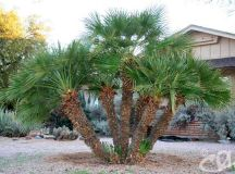Mediterranean Fan Palm - Chamaerops humilis - Arizona ...