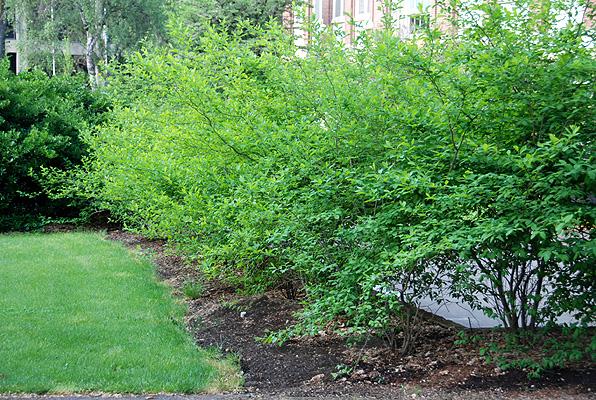 lindera benzoin landscape plants