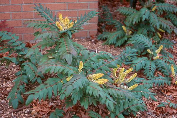 Image result for mahonia nervosa