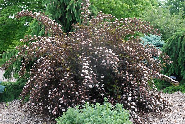 physocarpus opulifolius summer