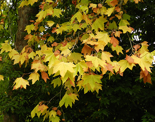 Fall Leaves Pictures Wallpaper Platanus 215 Acerifolia Landscape Plants Oregon State
