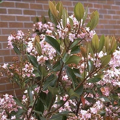 Rhaphiolepis Majestic Beauty  Landscape Plants  Oregon