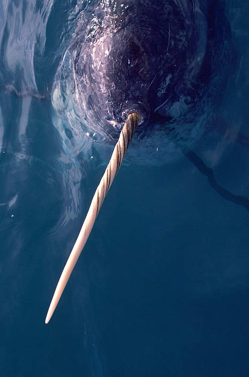 Sensory Functions of a Narwhal's Tusk