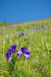 mountain-flowers2
