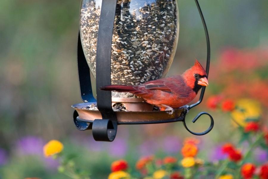 păsările pierd în greutate când se estompează