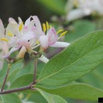 Invasive Plants: Honeysuckle