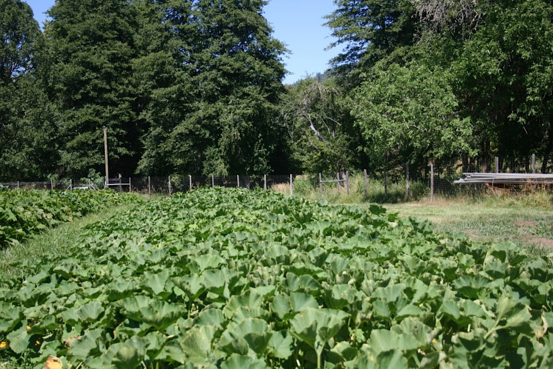 Restoration Agriculture: Crook neck squash on heathy soil