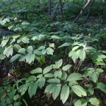 Edible and Medicinal Plants: Blue Cohosh