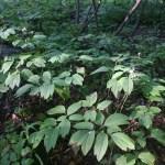 Edible and Medicinal Plants: Blue Cohosh
