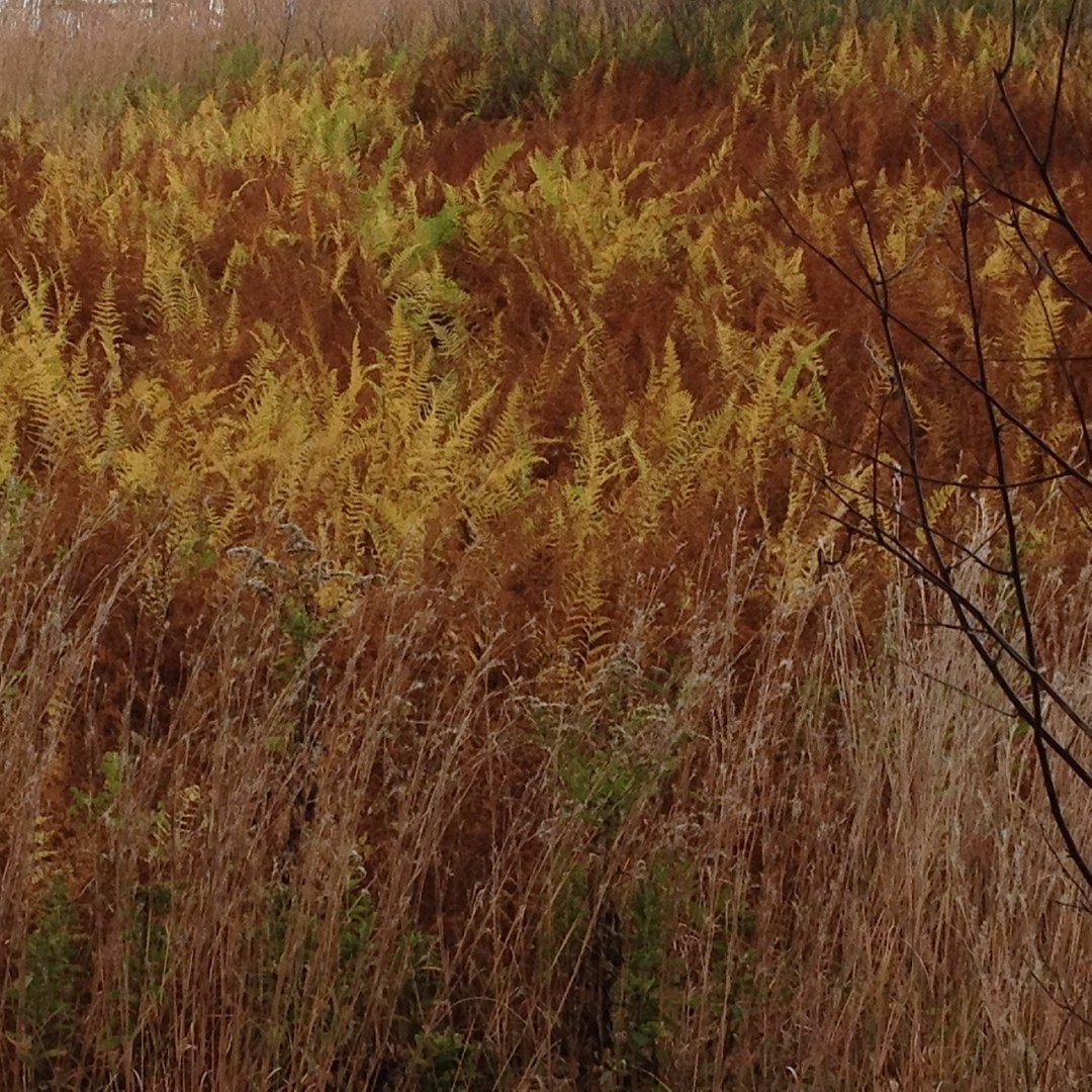 Native plant : fern and grasses in fall