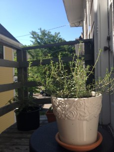 thyme growing on the fire escape