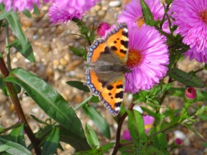 butterfly ecology: Small Tortoiseshell Butterfly