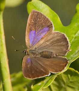 a purple-hairstreak, Butterflies Ecology