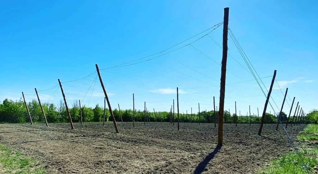 Photo de la houblonnière Poppin's Hops de Marie Migné en Vendée près de Montaigu en avril 2020