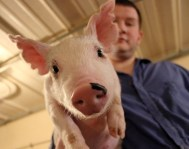 This was captured while taking photos documenting a student's research but has been used in swine promotions and graphics for the Kansas Department of Agriculture.
