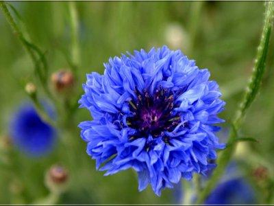 Langage et signification des fleurs  Bleuet