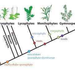 Morphology Tree Diagram Plant Cell Animal Simple Drawing Evolution Of Shoot Development | Langdale Lab