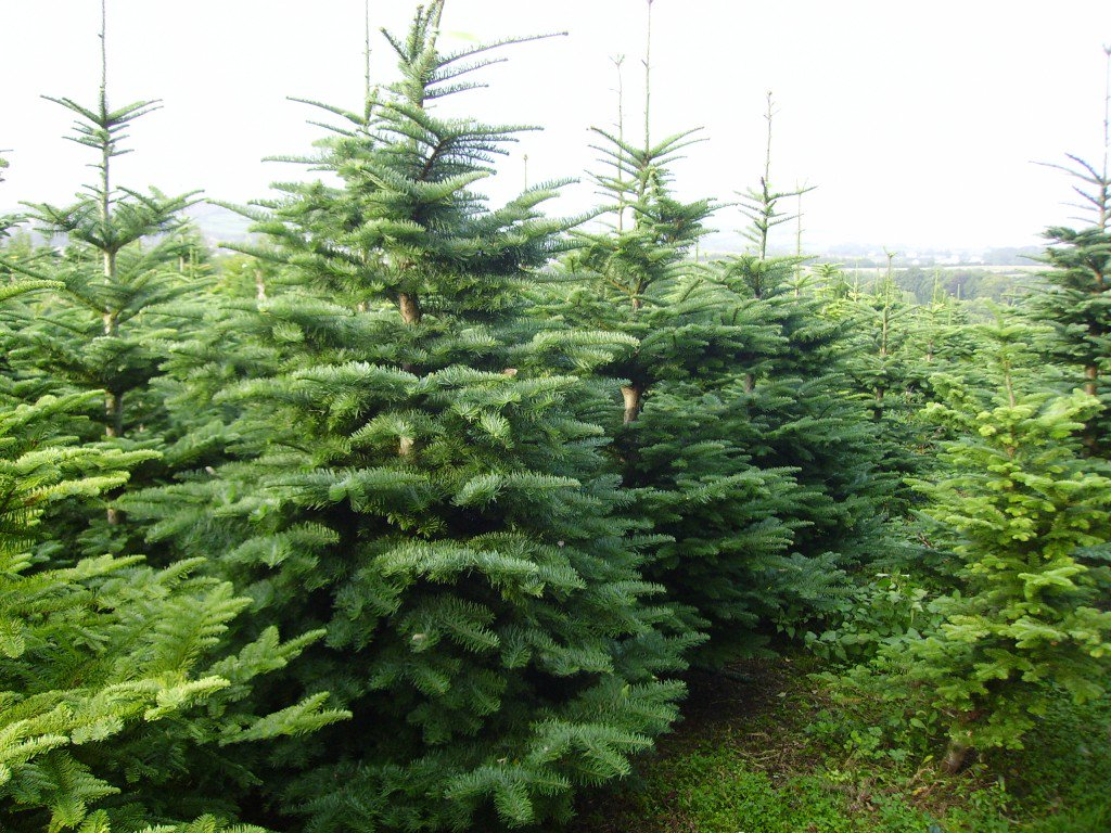 christmas trees care how to experience langley