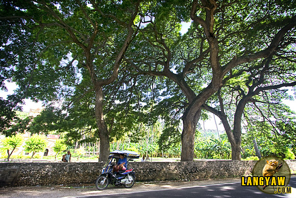 Decades old acacia trees line the road near the church of Nueva Caceres in Oslob, an old settlement.