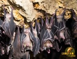 Bats at Samal's bat sanctuary. Samal Island, Davao del Norte. CLICK TO ENLARGE