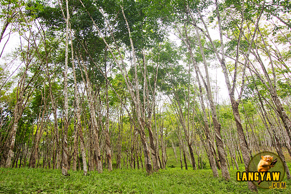 Stands of graceful rubber trees