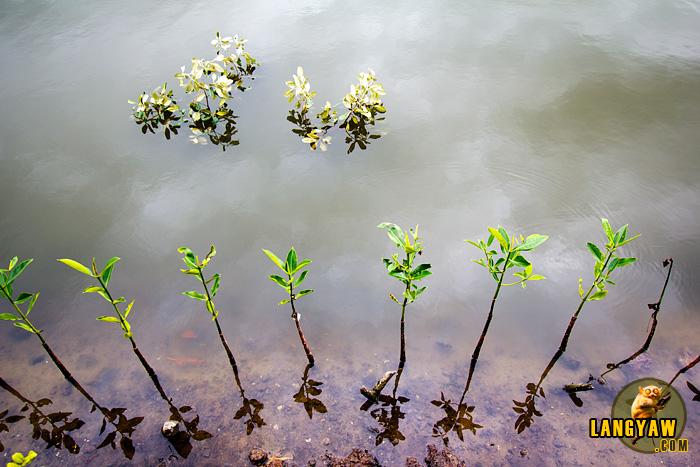 Mangrove seedlings growing along the path